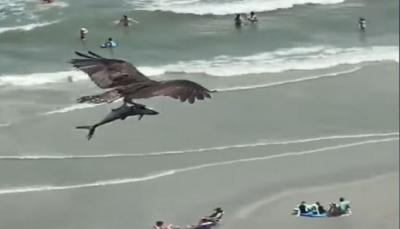 شاهد - طير ضخم يحلق حاملا سمكة تشبه القرش